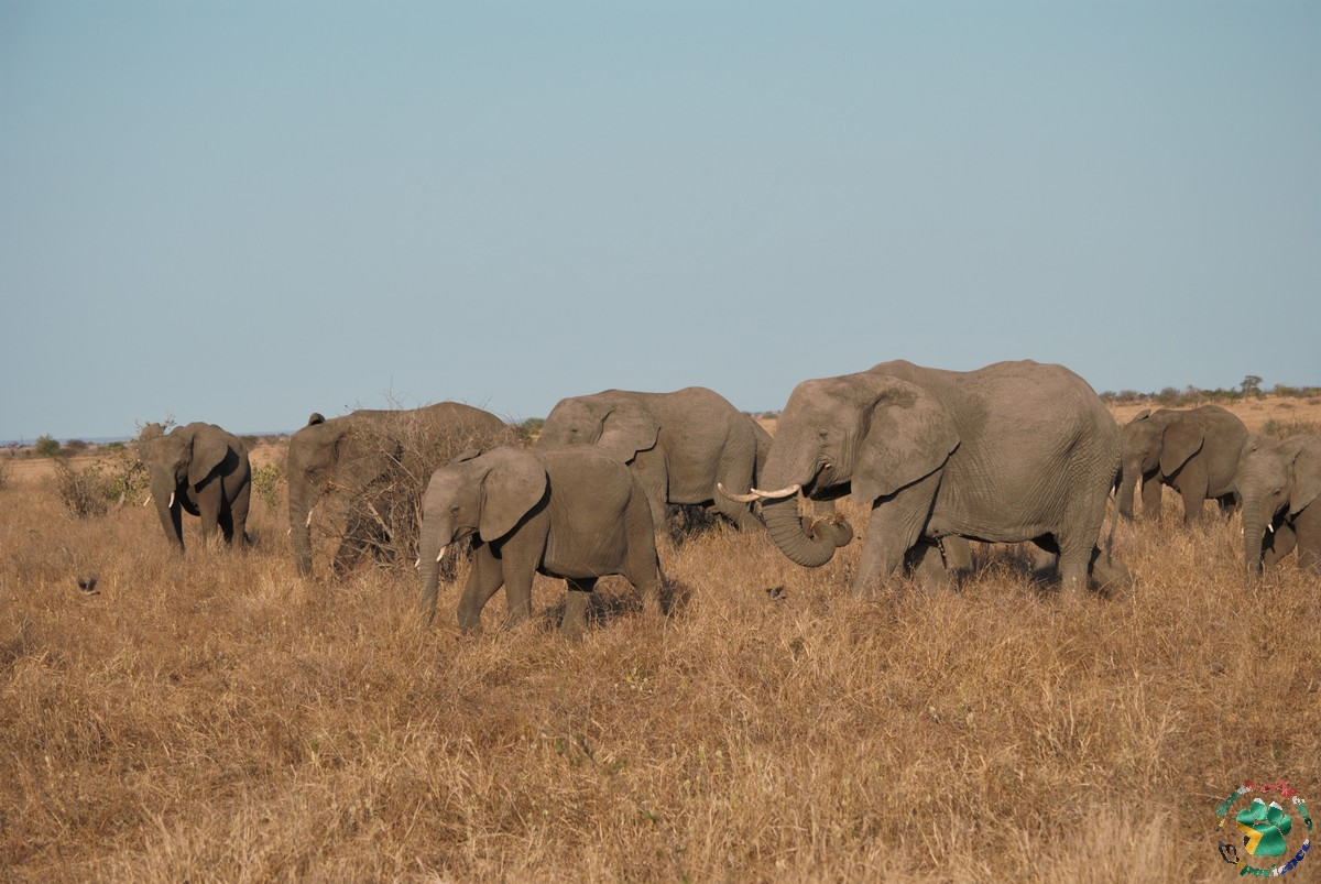 elefanti durante il safari al Kruger National Park