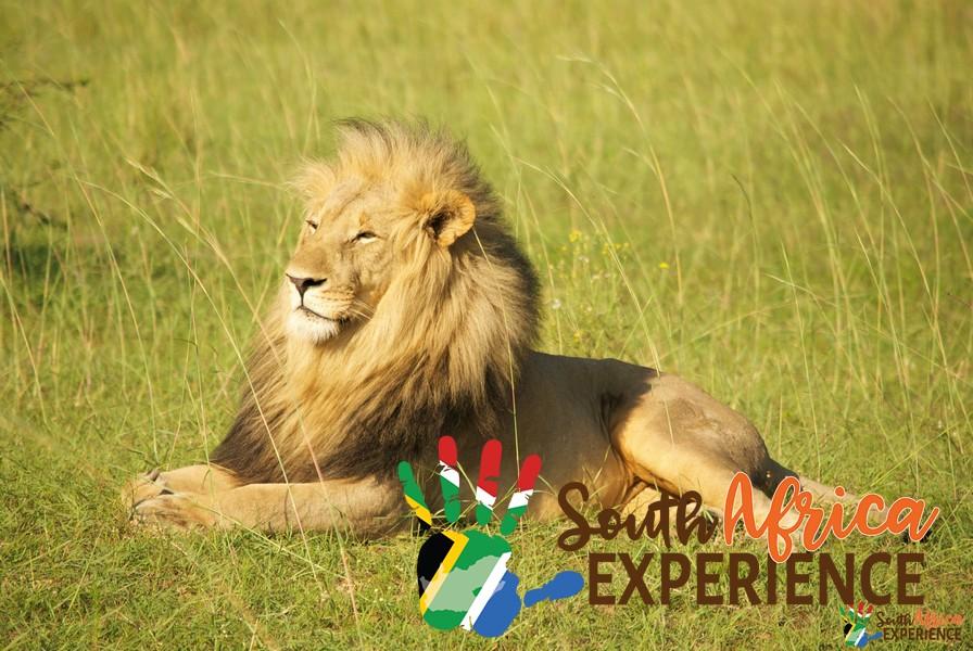 Leone riserva